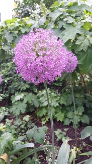 Allium closeup