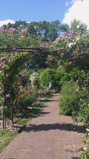 BBG roses