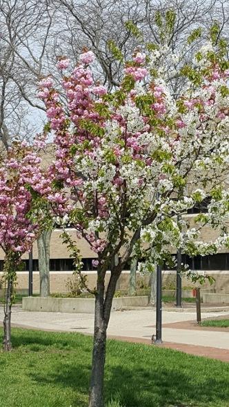 pink-white tree