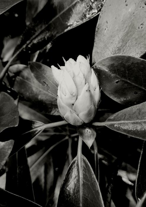 Magnolia bud in BBG's Native Flora Garden