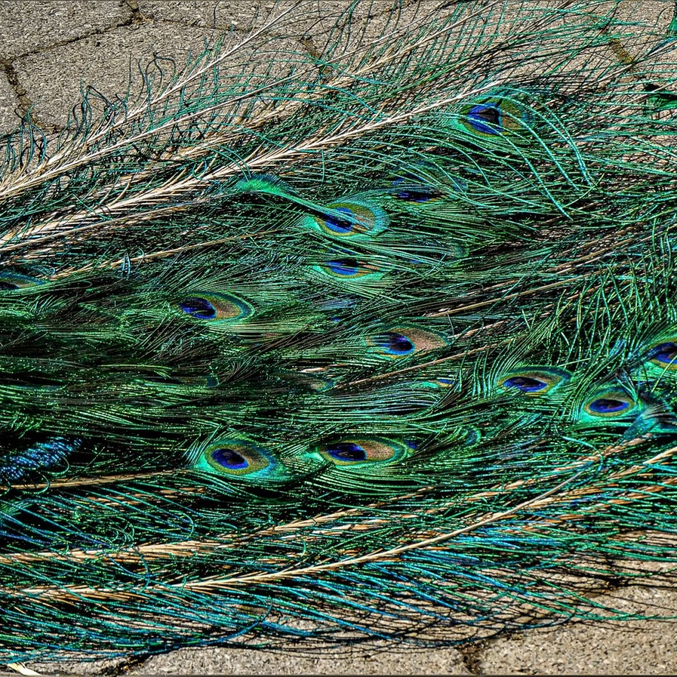 Peacock tail feathers detail