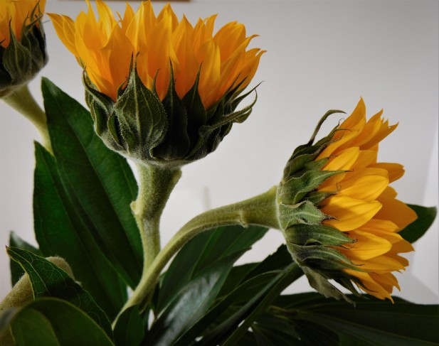 sunflower, macro photography, yellow and green, art, photography, lensmomentns