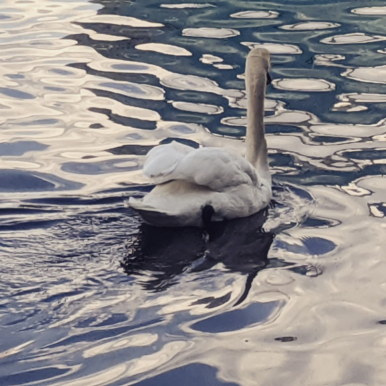 Photo of swan on a rippled lake by LensMomentsNS - Nichole Spates 2020