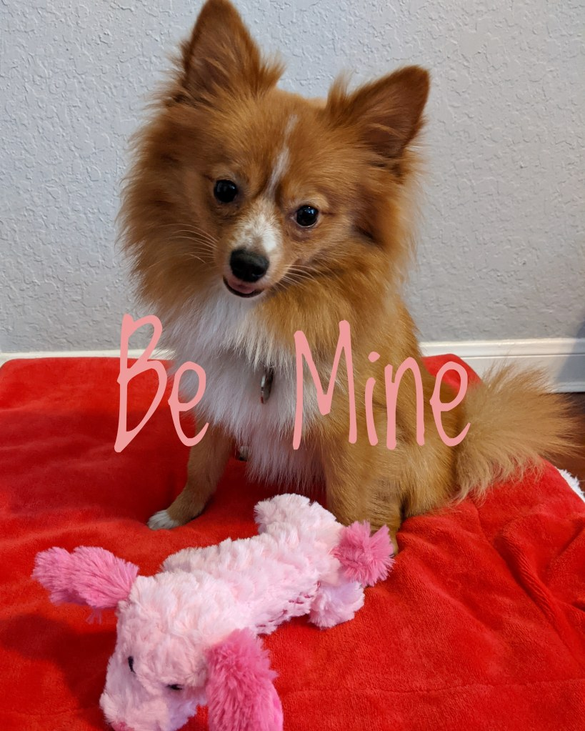 a photograph of a pomeranian on a red blanket with a pink toy by LensMoments - Nichole Spates (c) 2021